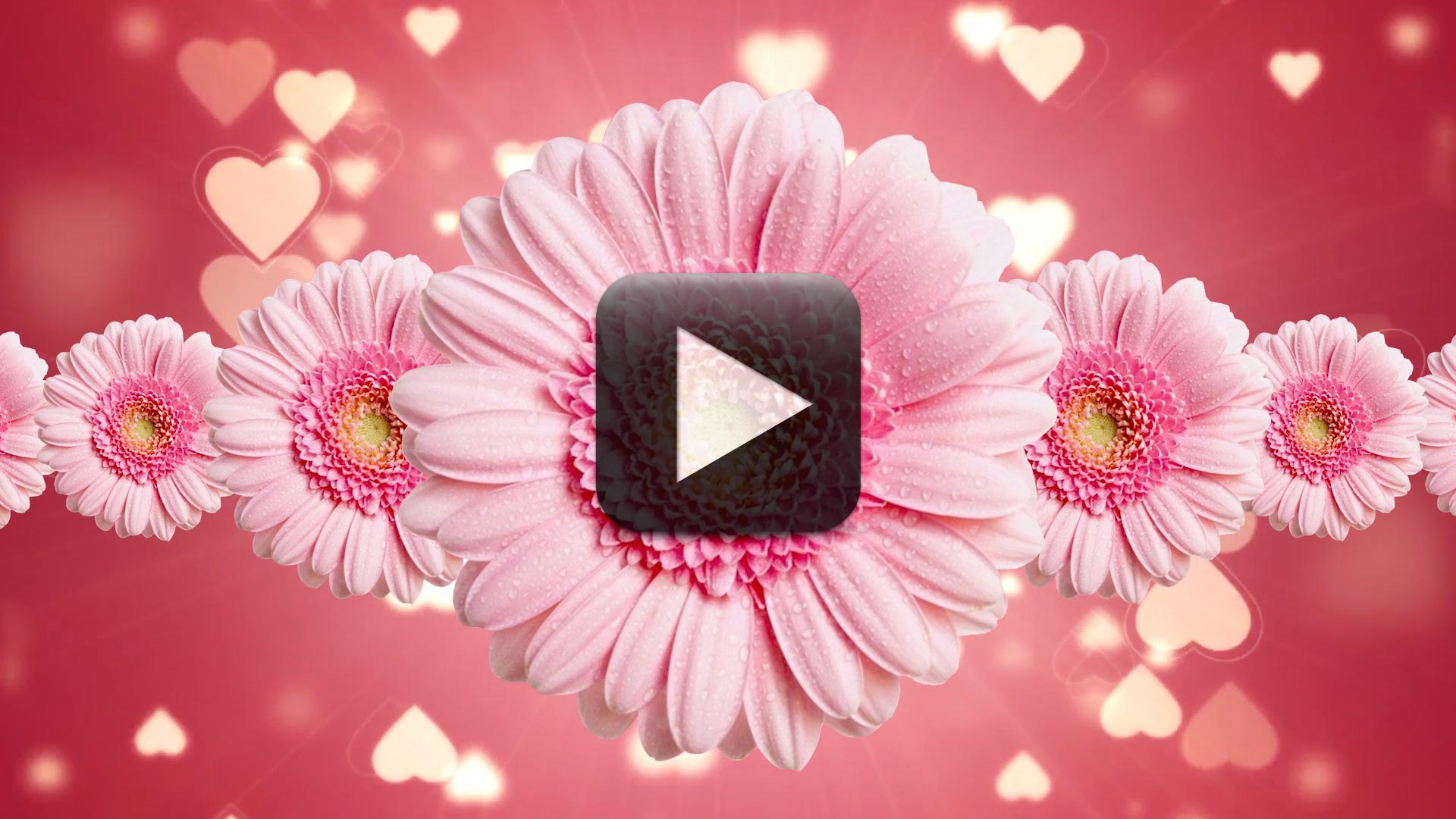 Free Flower Motion Backgrounds Premium Wedding Video Background