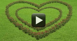Love Roses Motion Graphic Animated Background