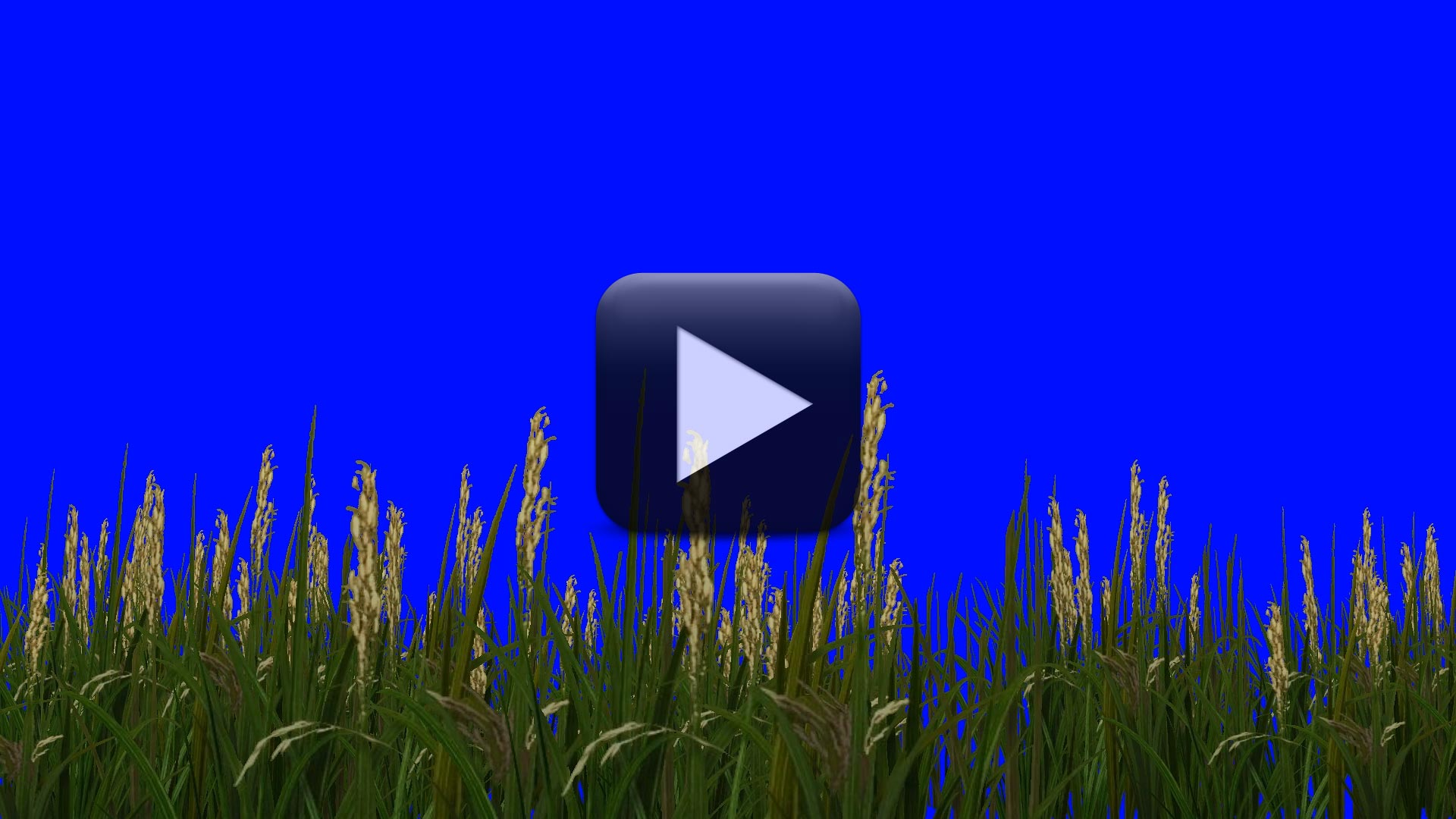 Rice Field Plants Green Screen Moved By The Wind