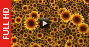 beautiful sunflowers video background hd 1080p