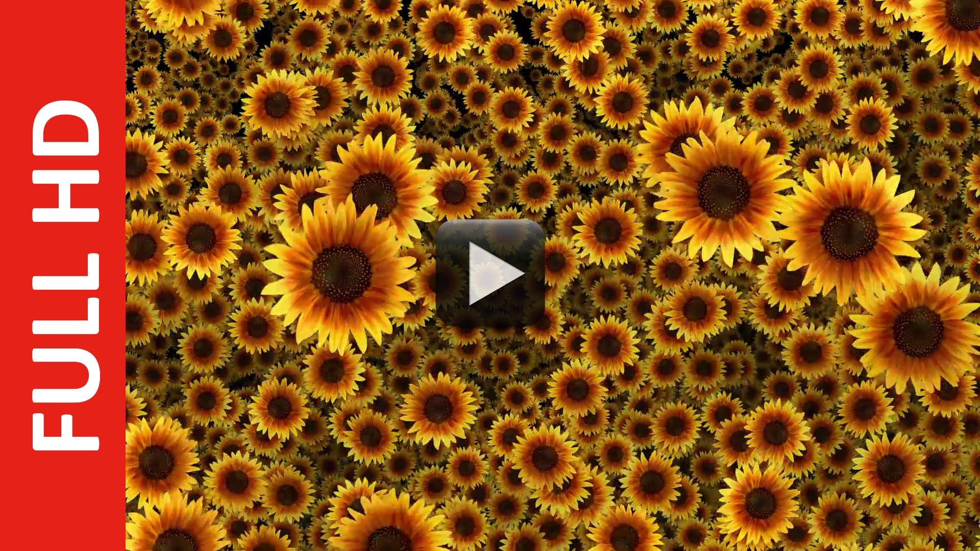 beautiful sunflowers video background hd 1080p