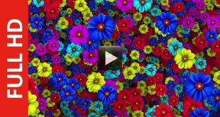 Colorful Flowers Background HD Video 1080p