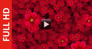 Cool Flowers Moving Video Background HD 1080p