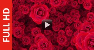 Royalty Free Background Flower Animation After Effects