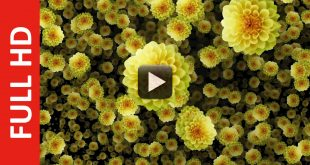 Animated Falling Dahlia Flowers Background Video Effect Royalty Free Download