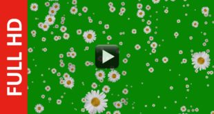 Flowers Falling Animation Green Screen Free Effects