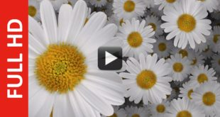 2000 Flowers Moving Animation Zoom Effect