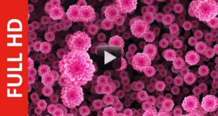Rose Pink Flowers Animation Falling