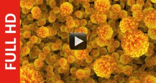 Marigold Flowers Moving Animation Background Video Effect
