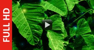 Big Leaves Background Free Stock Video Footage | Title Video Effect