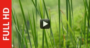 New Effect Green Grass Video Background-Free Nature Motion Background