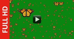 Butterfly Flying Green Screen HD Royalty Free