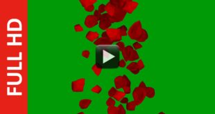 Center Falling Red Rose Flower Petals Green Screen Video Background